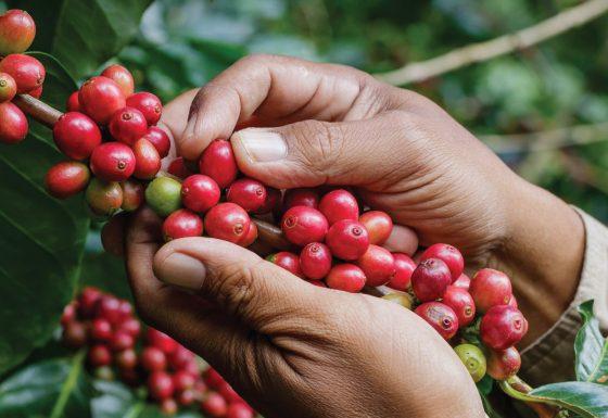 Sản xuất – Gia công các mặt hàng cà phê.